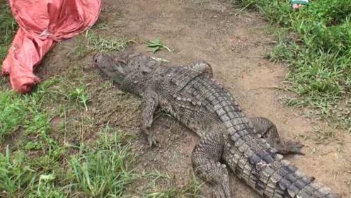 """动物园1米长鳄鱼""""越狱""""6天,民警诱捕无果连开3枪击毙"""