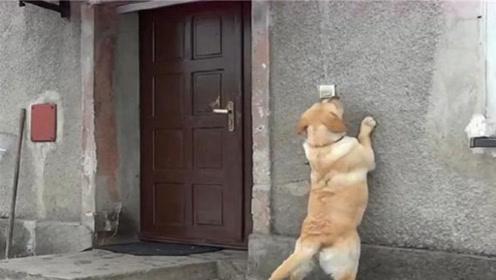 狗狗外出玩耍被锁在门外,接下来的行为,让人误以为成精了