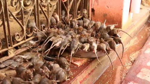 """印度寺庙将老鼠奉""""神"""",上万只与人同吃同睡,踩死罚款数万!"""
