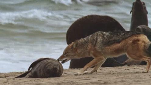 老外跟踪拍摄胡狼捕食,老外开始不淡定了:智商堪比人类啊!