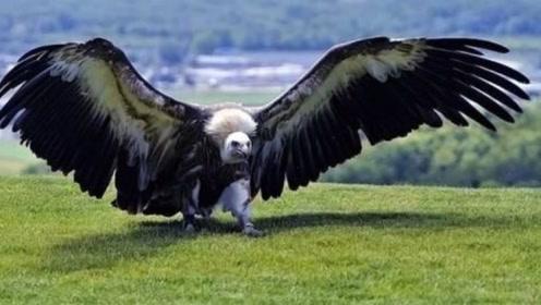 世界上最大的鹰,展翅超8米站立超2米,没有天敌却已经灭绝