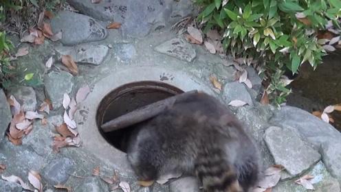 一只浣熊钻到井盖下,发现井盖没盖好,下一秒举动让人捧腹大笑