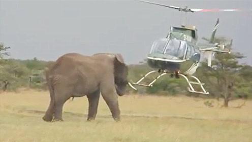 大象第一次见直升机,竟直直的朝飞机走过去,镜头记录搞笑画面
