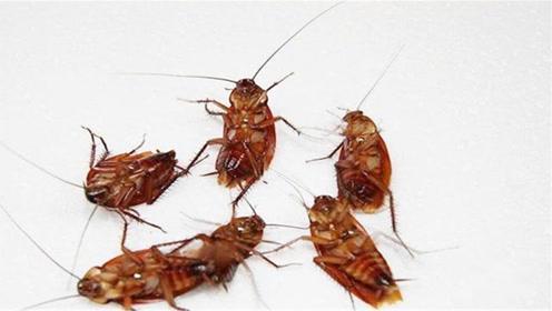 蟑螂别用脚去踩,教你灭蟑螂绝招,简单有效,家里一只蟑螂也没有