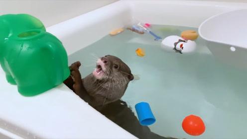 洗澡的小水獭,简直如鱼得水,活泼的像进了鱼堆的猫