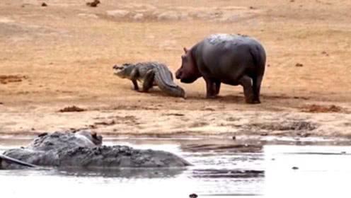 水里的小河马太孤单,竟然想和鳄鱼玩耍,却被冷漠拒绝