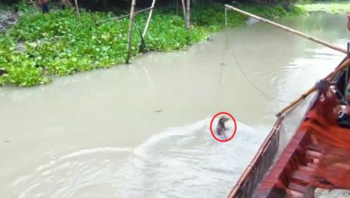 """传说中的""""水猴子"""",在孟加拉国被训练来捕鱼,原来高手在民间!"""