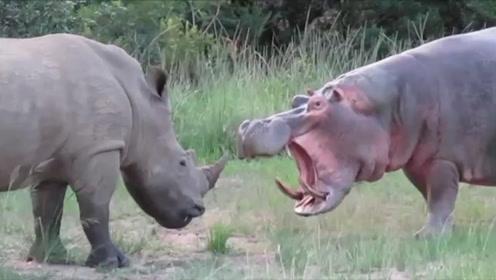 河马遭遇犀牛,本以为是场大战,下一秒请憋住别笑!
