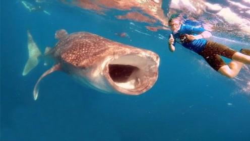 海洋中最大的鱼!几乎没有天敌,却对人类十分友好