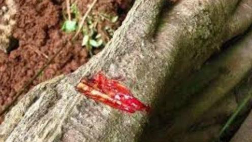 老汉上山砍树,发现一颗奇树竟会流血,相传流下的是龙的血液!