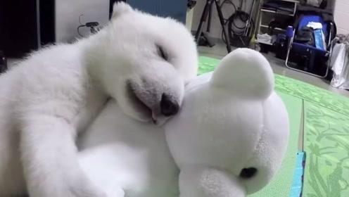 小北极熊的成长之路,小不点变成庞然大物,从头萌到尾!