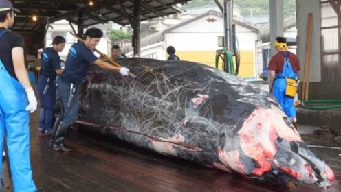 日本人有多残忍,捕捞上来鲸鱼直接用铲子切割,网友们都怒了