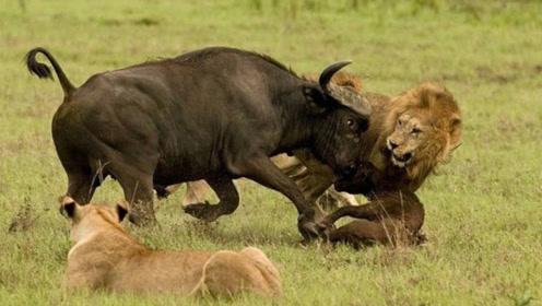 狮子和野牛干架,不料被野牛按在地上蹂躏,场面相当惨烈!