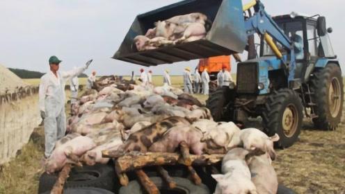 非洲猪瘟不能传染人, 为啥生病的猪必须扑杀?背后真相令人胆寒