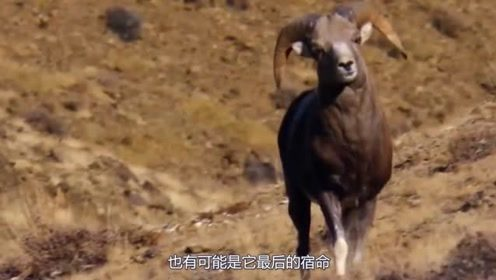 活的最憋屈的羊,引以为傲的羊角,却是杀死自己的武器
