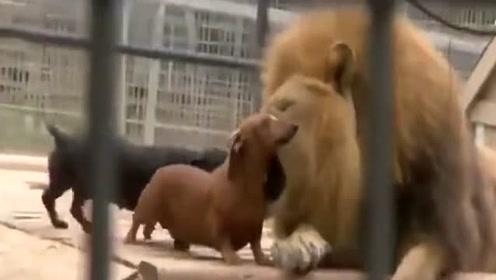 狮子:高处不胜寒,终于来个敢和我玩的朋友了