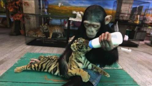 最有爱的动物组合!猩猩把老虎当孩子,拿奶瓶喂奶满脸宠溺