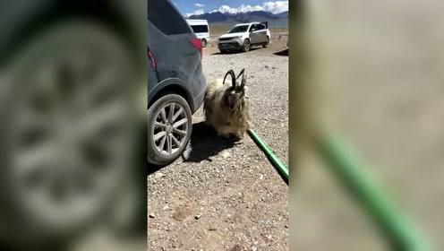 西藏自驾游东北俩女汉子,海拔4千米偶遇一只,自带锡纸烫版的羊