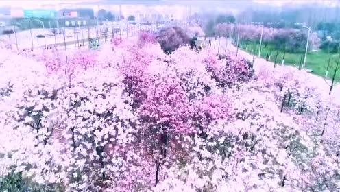 华中科技大学东九前的紫玉兰花海开啦,武汉一景