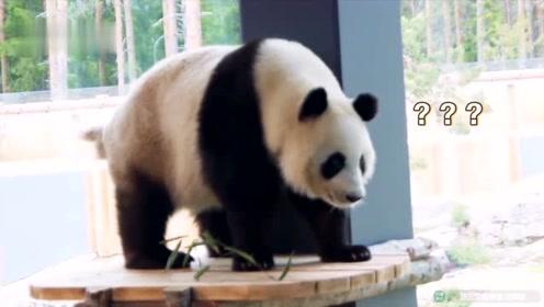 芬兰动物园给熊猫过中秋 请来合唱团