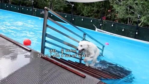 萨摩耶参加狗狗派对游乐场,一天玩得乐开花了