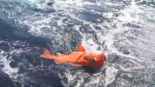 深海鱼出水面即死,鱼眼都爆了!