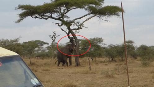 大象发疯一样的攻击大树,路人走近一看,立马打电话呼救!