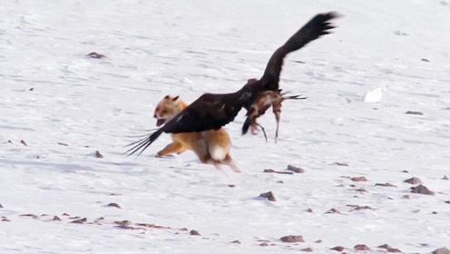老鹰的捕猎能力有多强?说实话,行家一看就知道!