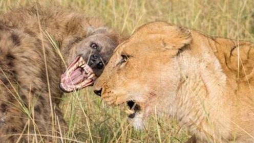 鬣狗以下犯上,堂堂狮王被鬣狗咬的嗷嗷叫,鬣狗:这牛能吹一辈子