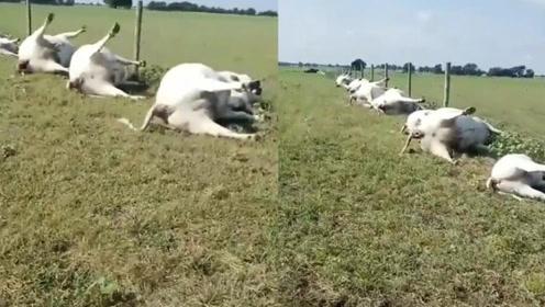 闪电击中一头母牛 22头一起死亡一字排开超凄惨