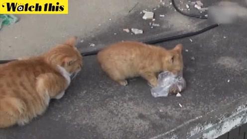 痛失4个小孩的猫妈妈只叼袋装猫粮 这个举动让人落泪