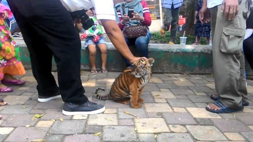 主人带小老虎上街玩耍,小家伙也不怕生,奶凶奶凶地简直太可爱