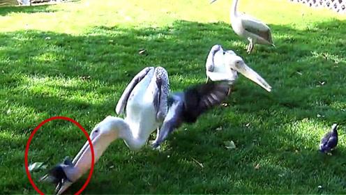 一群鸽子飞在鹈鹕附近,下一秒被鹈鹕一口吞下,太惊人了!