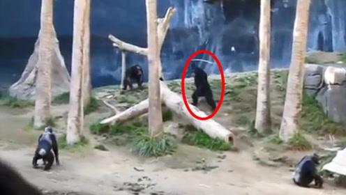 猩猩发现同伴被围攻,拎着棍子上去就是干,网友:好棍法!