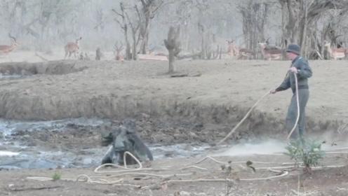 一群野牛深陷泥潭,将野牛拉出来时,下一秒扔掉绳子就跑!