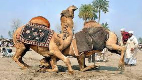 """无奇不有!终于知道骆驼争夺配偶的方式,只攻击对方""""这个""""位置"""