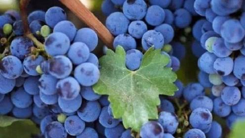 """良心果农透露:打过激素的葡萄,这""""3处""""不一样,别买错了"""