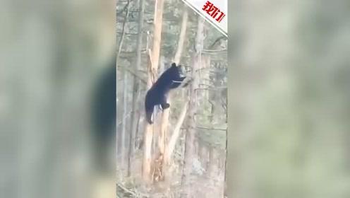 一黑熊被困高树 上不去下不来萌态可掬