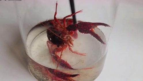 将小龙虾泡入高度白酒,60分钟后看到这一幕,瞬间没了胃口!