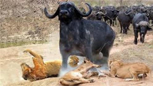 野牛群找狮子报仇,要不是镜头拍下,你能想象狮子会这么狼狈
