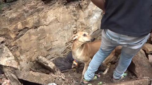 狗宝宝被埋在废墟中,狗妈妈向人类求助,期间还不断帮忙