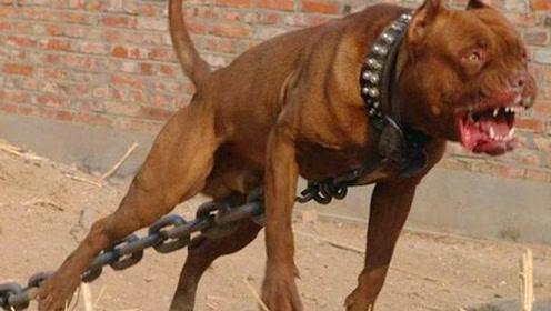 """为什么比特犬被国家""""禁养""""?发起狂来让人害怕,看完冷汗直冒"""