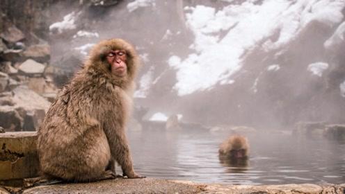 """日本""""奇葩""""景点!温泉只能猴子泡,游客只能在一旁拍照!"""