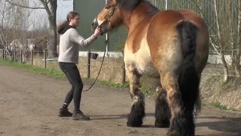 这种巨马真难伺候 拉半天动也不动