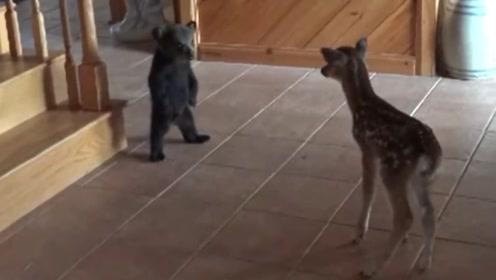 野鹿无意闯入家中,却不想遇到一只小熊,搞笑的一幕发生了