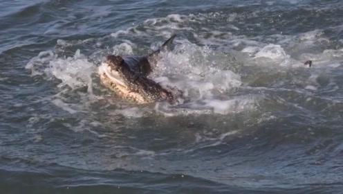 牛鲨抢夺鳄鱼食物,却搭上了自己性命,镜头拍下全过程