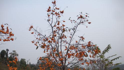 为何秦始皇陵一直未发掘?旁边的一棵柿子树,专家看后深感意外!