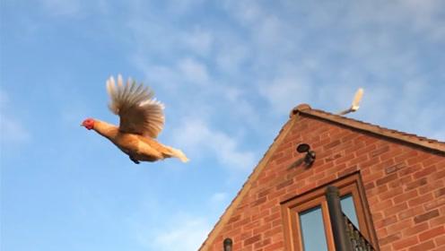 """一只练就了""""轻功""""的鸡,一言不合就起飞,让人大开眼界!"""