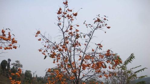 秦始皇陵附近发现怪异柿子树 却解决了考古学家一个大难题