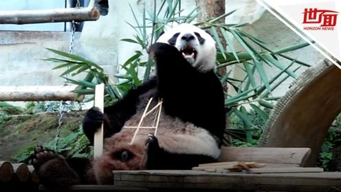 19岁旅泰大熊猫创创突然离世 泰媒:X光发现气管内存在不明物